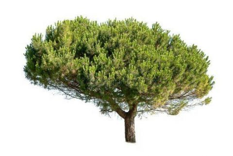 pycnogenol, schors van de pijnboom